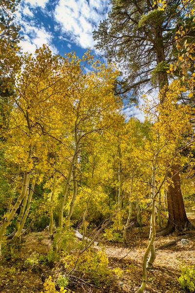 Aspen groves along Virginia Lakes Road