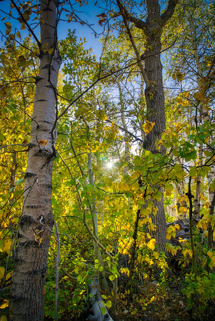 Looking up through the aspen on McGee Creek