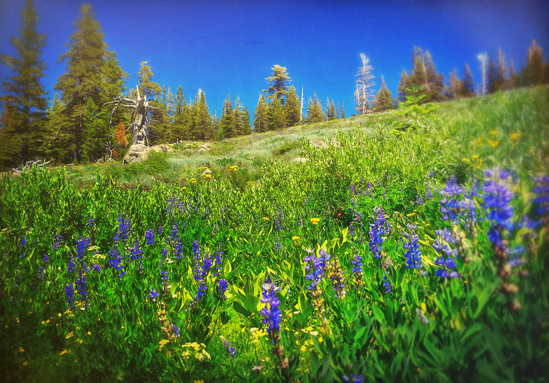 Lupine in bloom