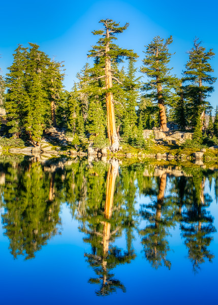An old tree reflecting in Grouse Lake