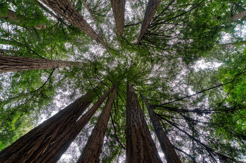Tall Redwood Trees at Muir Woods National Monument