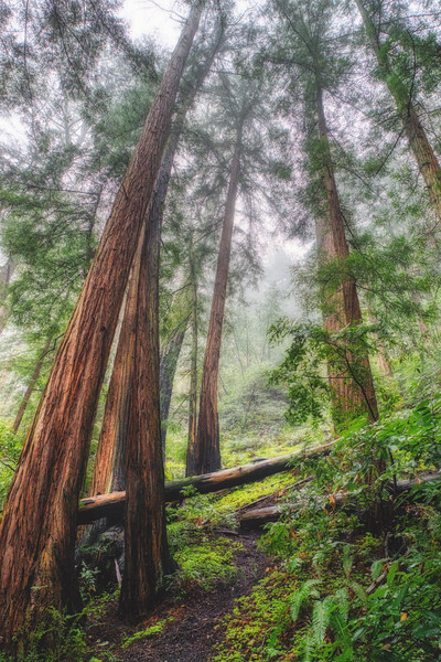 Looking up at those mighty redwoods