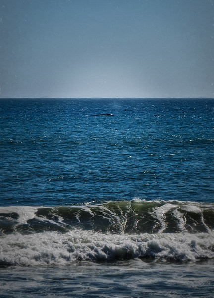 A Humpback Whale in Drake's Bay