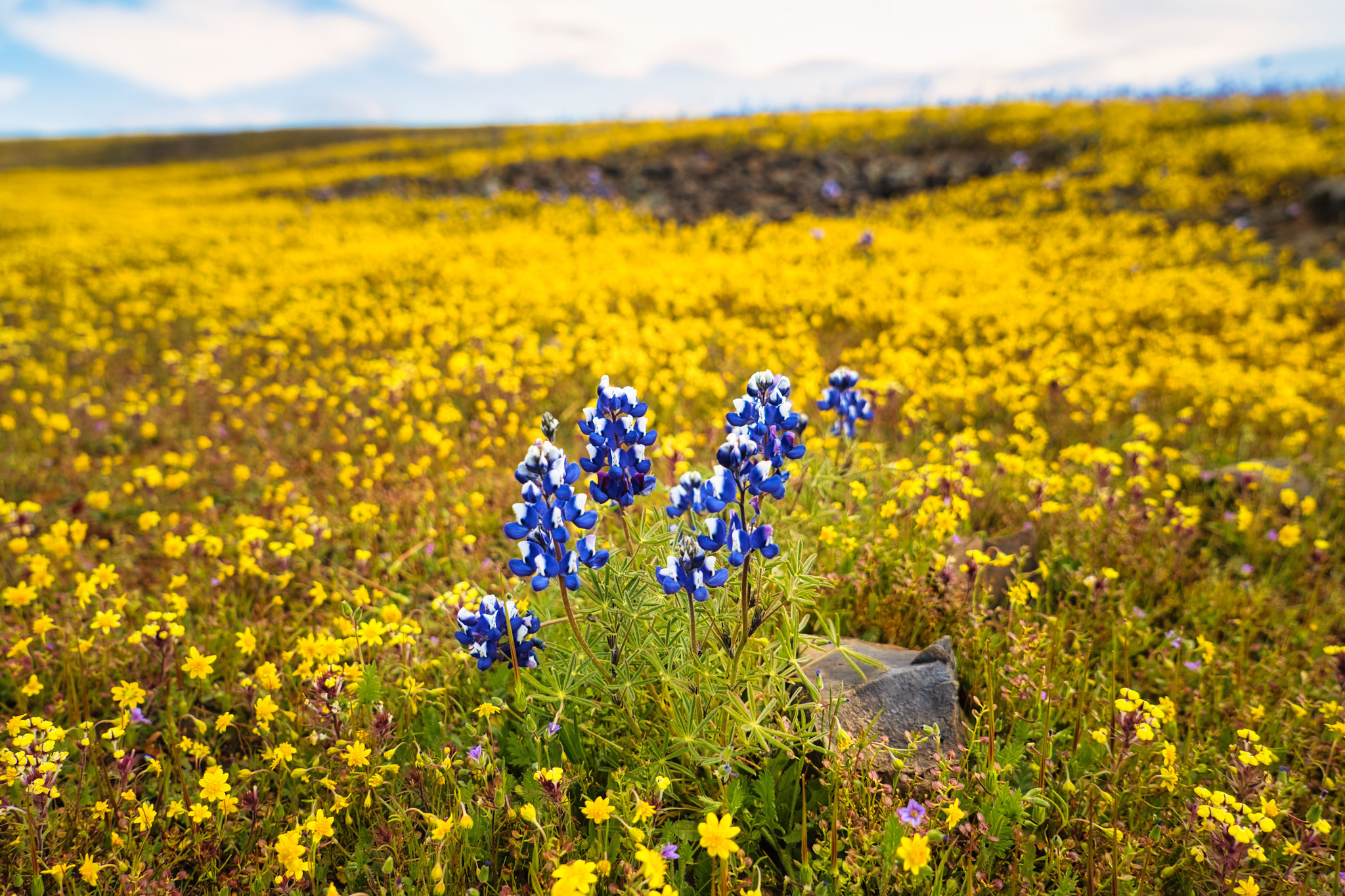 Fields and fields of flowers