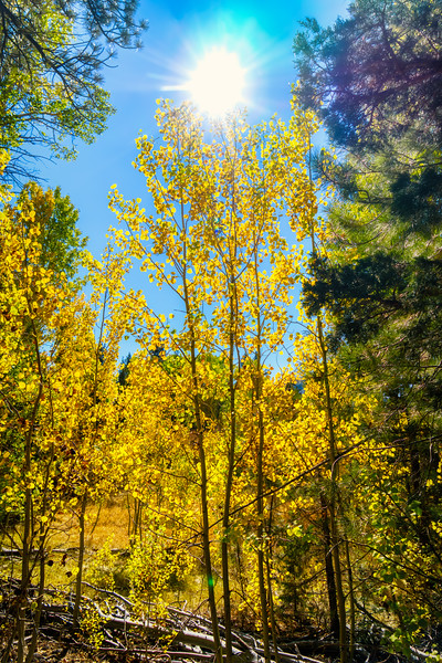 The sun shining through the aspen