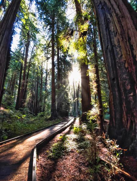 The sun filtering through Muir Woods