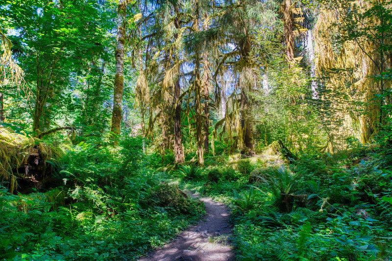 The Hoh Rain Forest Trail on a sunny afternoon