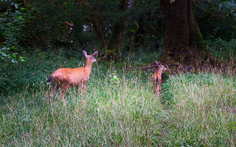 A momma deer and her fawn near our camp in the Hoh Rain Forest