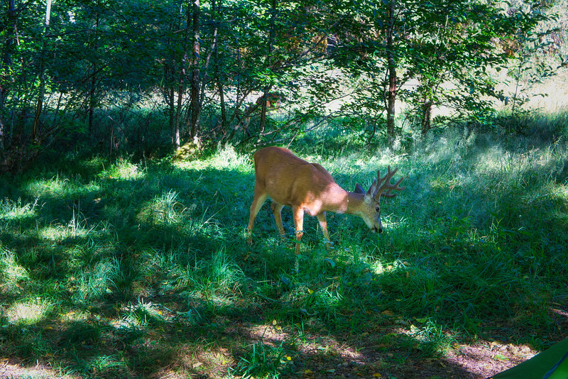 A deer grazing near camp in the Hoh Rain Forest