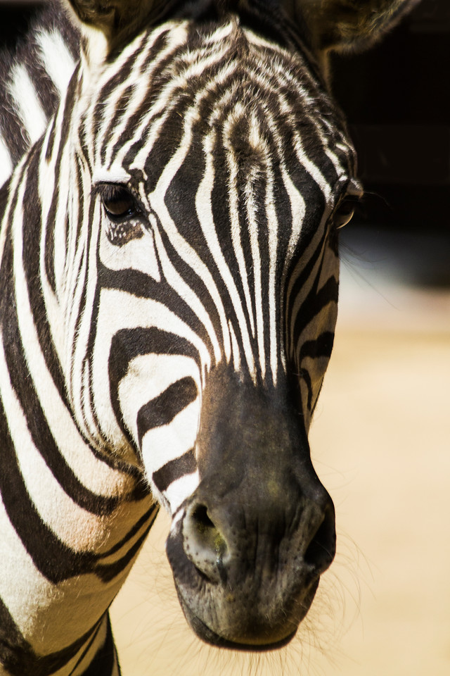 "February 12, 2014:  Zebra at Rancho Las  Lomas in Silverado Canyon. A magical place 15 minutes from our house. More pictures of the Ranch: <a href=""http://lbokesch.smugmug.com/Places/Rancho-Las-Lomas/i-tx48TMw"">http://lbokesch.smugmug.com/Places/Rancho-Las-Lomas/i-tx48TMw</a>"