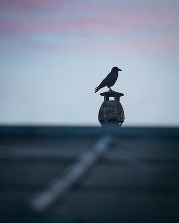 Visiteur du crépuscule 🌆 . . #photographathome #covid19 #frommywindow #RestezChezVous #stayathome #confinement #paris #parisphoto #oiseau #crépuscule #bird #twilight #corbeau #raven #lightexmachina #autophotosgraphein