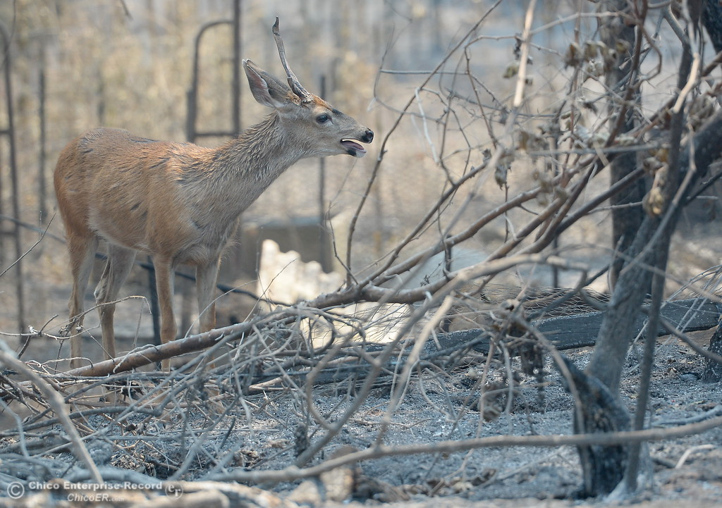 . One area resident said this deer is like a pet to one of his neighbors along Lumpkin Road as the deer roams through the charred forest area while the Ponderosa Fire grows to 3,500 acres with 10% containment Thursday Aug. 31, 2017. (Bill Husa -- Enterprise-Record)