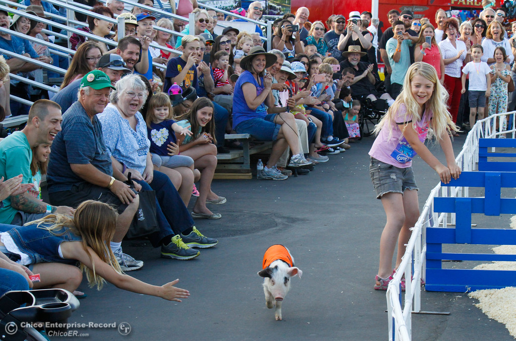 . When ask to leap over an incredible high jump, much to the crowds delight, this little piggy took the easy way around Thursday May 25, 2017 at the Silver Dollar Fairgrounds in Chico, California. (Emily Bertolino -- Enterprise-Record)