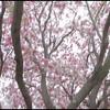Miriam John Engagement Love Story Video Cherry Blossom Washington DC