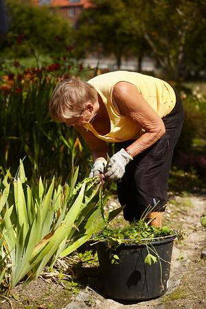 Botanisk haves venner - pensionister luger  den kommunale park for ukrudt i blomster og staude bede Århus,  9.8.2012