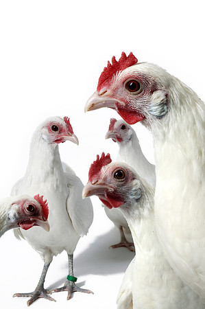Hvide høns, tyske dværge, illustration af sladder