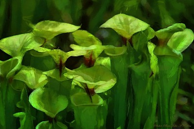 """Pitcher Plants"" - John Perkins"