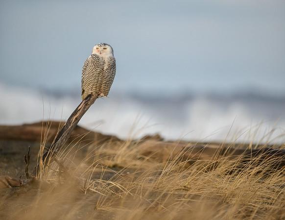 Snowy Owl by Surf