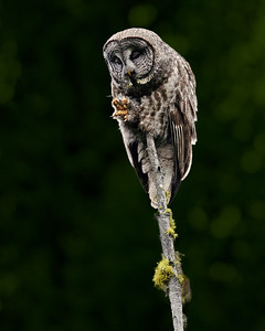 Great Gray Owl in McCall, Idaho