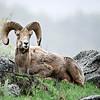 Big Horned Ram