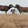 Bighorn Rams in the Snake River Canyon