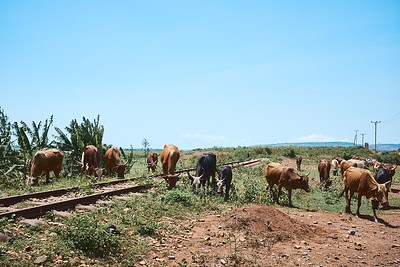Cattle grazing near one of the nearly-abandoned railroad tracks connecting factories along the shores of Lake Victoria.