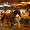 Hip 125 colt by Good Magic out of Krazy Kathy from Indian Creek<br /> Sales scenes at Fasig-Tipton in Saratoga Springs, N.Y. on Aug. 10, 2021.