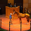 Hip 557 Stilleto Boy from Paramount Sales.<br /> Scenes, people and horses at The July Sale at Fasig-Tipton near Lexington, Ky. on July 12, 2021.