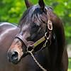 Protonico, sire of Kentucky Derby (G1) winner Medina Spirit, at Castleton Lyons in Lexington, Ky., on May 7, 2021.