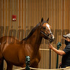 Hip 1203 colt by Into Mischief out of Teen Pauline from Warrendale/Stonestreet<br /> at Keeneland September sale yearlings in Lexington, KY on September 16, 2020.