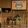 Hip 1811 colt by Practical Joke out of Hot Roots from Woodford Thoroughbreds<br /> at Keeneland September sale yearlings in Lexington, KY on September 19, 2020.