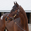 Hip 254 Getoutamyway from South Point <br /> Keeneland January Sales at Keeneland near Lexington, Ky., on Jan. 9, 2021.