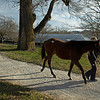 walking to the sales pavilion<br /> Keeneland January Sales at Keeneland near Lexington, Ky., on Jan. 14, 2021.