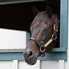 Caption: a favorite pasttime is hanging out his barn window watching visitors<br /> Go for Gin at the Kentucky Horse Park near Lexington, Ky., on Sept. 1, 2020 Kentucky Horse Park in Lexington, KY.