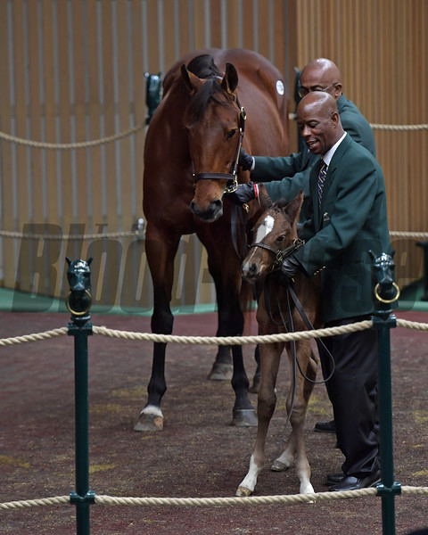 Hip 1104 Bijoux with Shackleford foal in ring at Keeneland January sales on Jan. 10, 2018.