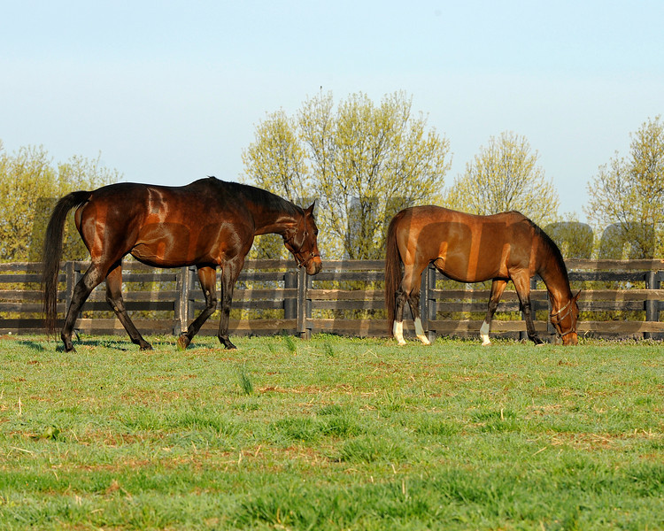 Caption: Silverbulletday, left, walks over to her fieldmate Teeming<br /> Mares at Hill 'n' Dale Farm near Lexington, Ky. on April 13, 2011.<br /> HillnDale1 image998<br /> Photo by Anne M. Eberhardt