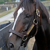 Caption:<br /> Tiznow at WinStar Farm near Versailles, Ky. on Sept. 16, 2008, in Lexington, Ky. <br /> Tiznow image9597<br /> Photo by Anne M. Eberhardt