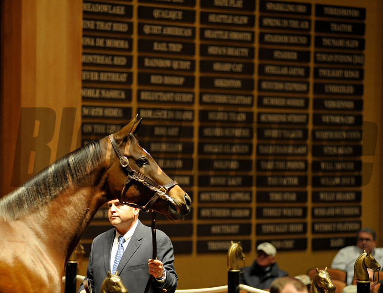 Caption: Hip 76 Havre de Grace, who was consigned by Taylor Made and brought $10 million from Mandy Pope, poses in the ring in front of the wall of champions.<br /> Horses sell at the Fasig-Tipton Kentucky November sales on Nov. 5, 2012, in Lexington, Ky.<br /> FTKNovSales Origs1 Havre de Grace image39<br /> Photo by Anne M. Eberhardt