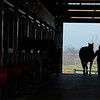 A mare is brough in to a barn (weanlings in shodows on left look out of stalls) at Jim and Susan Hill's Margaux Farm near Midway, Ky., on Dec. 8, 2020.