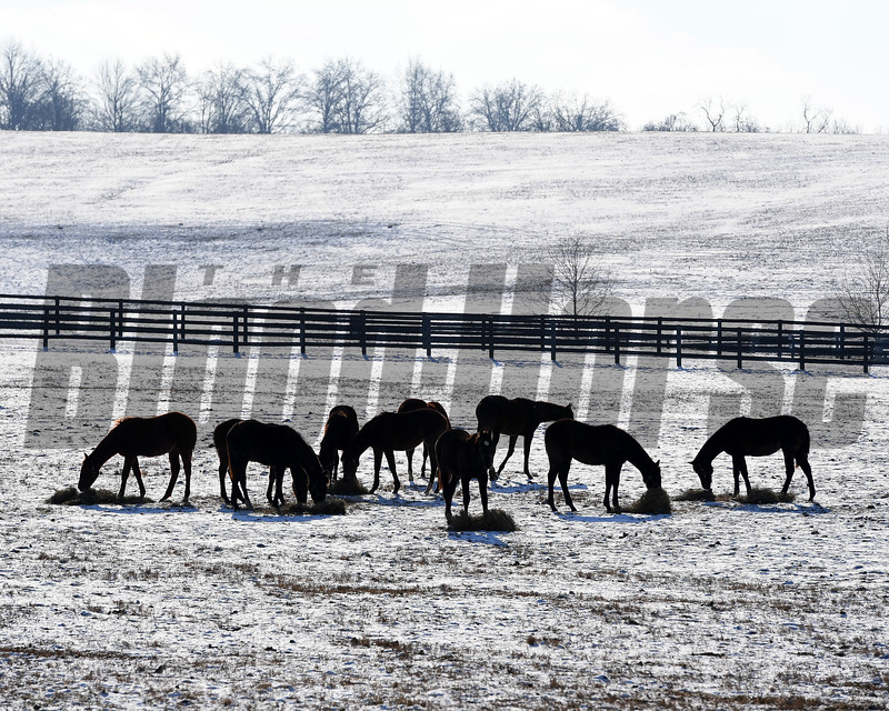 Eating hay. Winter scenes with yearlings at Heaven Trees Farm near Lexington, Ky., on Jan. 7, 2017.