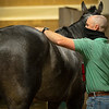 Caption: Destin checks the back of one of his charges before sets and training begin.<br /> A native of Oklahoma, Heath started working at WinStar Farm on October 10, 2014, and became the farm trainer in October of 2018. Presently he has about 100 horses in training at the WinStar Farm training center, where they have a 7 1/2-furlong main track and 3/4 of a mile undulating turf gallop.<br /> Daily Life series on Destin Heath, farm trainer at WinStar Farm on Aug. 11, 2020 WinStar Farm in Versailles, KY.