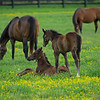 Caption: foreground, l-r, Funtastic colt out of Call the Kitty and Blame colt out of Shesakitty, background l-r, Call the Kitty and Lotta Kim<br /> Mares and foals on Heaven Trees Farm near Lexington, Ky., on May 21, 2020 Heaven Trees in Lexington, KY.