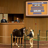 Hip 763 One Way Passage<br /> Sales horses at the Keeneland November Sale at Keeneland in Lexington, Ky. on November 11, 2020.