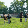 Caption: yearling sales prepping, handwalking, in order, front to back, fillies by Gun Runner from High Authority, American Pharoah from Easy Living, and Malibu Moon from Grand Traverse<br /> Aidan and Leah O'Meara at Stonehaven Steadings near Versailles, Ky. on Aug. 7, 2020 Stonehaven Steadings in Versailles, KY.
