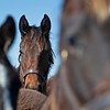 yearlings in a field<br /> Scenes at Blue Heaven Farm near Versailles, Ky. on Feb. 23, 2021.