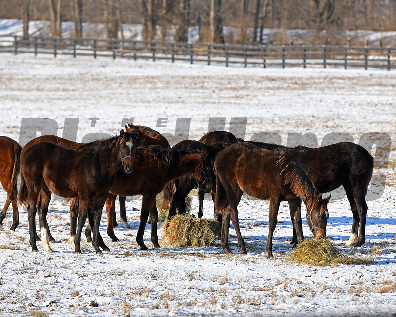 Yearlings eating hay.<br /> Winter scenes with yearlings at Heaven Trees Farm near Lexington, Ky., on Jan. 7, 2017.