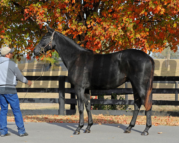 Caption: <br /> Eblouissante, shown as a  yearling at Don Robinson's Winter Quarter Farm near Lexington, Ky. September 2010. by Bernardini and out of the mare Vertigineux, Eblouissante is a half sister to stakes winners Balance and Zenyatta and now is in training with John Shirreffs.<br /> Photo by Anne M. Eberhardt