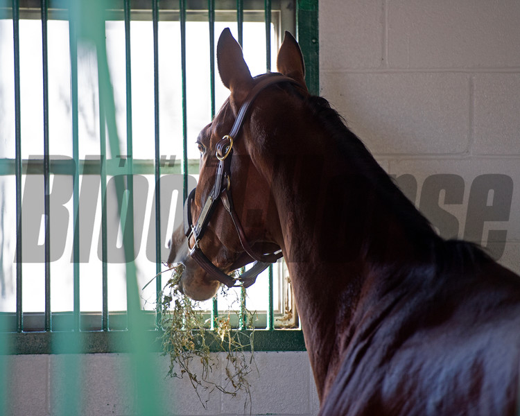 eating hay and looking out her new window<br /> Beholder arrives at Spendthrift Farm in Lexington, Ky., on Nov. 21, 2016, in Lexington, Ky.