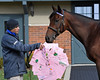 Caption: Nyquist with holiday and stud career wishes from grade school children<br /> Godolphin stallions at Jonabell near Lexington, Ky., on Dec. 2, 2016.