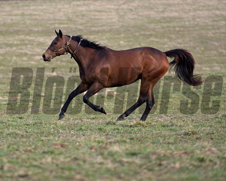 running in her paddock<br /> Drumette owned by Bridlewood is in Kentucky to be bred to Tapit and resides at a division of Gunston Hall on March 9, 2021.